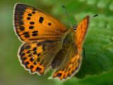 Vitfläckig guldvinge (hona) - Lycaena virgaureae - Scarce Copper (female)