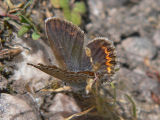 Hedblåvinge (hona) - Plebejus idas - Idas Blue or Northern Blue (female)