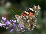Praktfjärilar  -  Nymphalidae  -  Brush-footed Butterflies