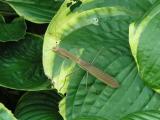 Mantis, praying