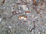 Kangaroo rat? mouse?