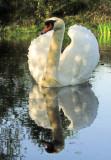 Swan  in   dappled  sunlight.