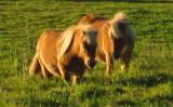 Palamino  Shetland  ponies.