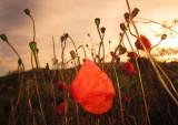 Field  poppies  at  dawn.