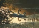 Two swans in shade