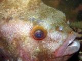 Lumpfish (close-up)