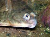 Winter Flounder (close-up)