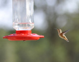 Rufous on Final Approach