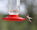 Anna's Hummingbird Landing