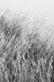River Reeds in Black and White