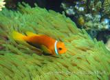 Malediven-Anemonenfisch_Maldives anemonefisch_100164.jpg