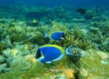 Weisskehl-Doktorfisch_Powder-blue surgeonfish_060185.jpg