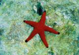 Indischer-Seestern_Indian  sea star_120391.jpg