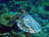 Meeresschildkröte_Green turtle_090385.jpg