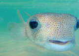Common porcupinefish_080159.jpg