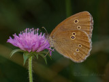 Butterfly_Brauner Waldvogel_(Aphantopus hyperantus)_2694.jpg