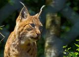 Karpatischer Luchs_ (Lynx lynx)_5319.jpg