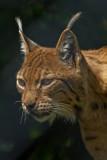 Karpatischer Luchs_ (Lynx lynx)_5317.jpg