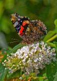 Butterfly_Der Admiral (Vanessa atalanta) _5576.jpg