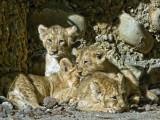 Asiatic Lion_6154.jpg