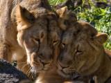 Asiatic Lion_6351.jpg