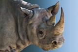 Rhinoceros_6298.jpg