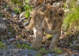 Asiatic Lion_6411.jpg