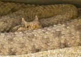 Sidewing rattlesnake_6565.jpg