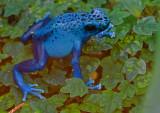 Blue poison frog_6585.jpg