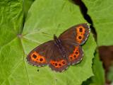 Butterfly_The Arran Brown-Weißbindiger Mohrenfalter-(Erebia ligea)_3436.jpg