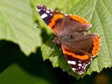 Butterfly_Der Admiral  (Vanessa atalanta)_5631.jpg