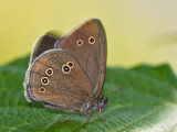Butterfly_Brauner Waldvogel_(Aphantopus hyperantus)_2353.jpg