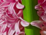 Hyacinthus_9569.jpg