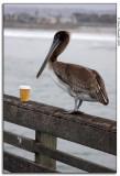 A Pelican For Jennifer
