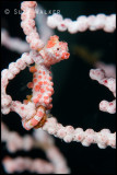 Red Pygme Seahorse