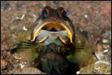 Jaw Fish