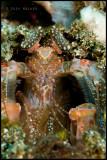 Tiger Mantis