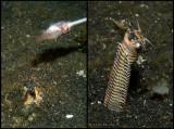 Bobbitworm