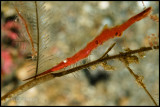 Sawtooth Shrimp
