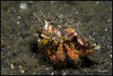 Decorator hermit crab
