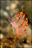 Pink Nudibranch