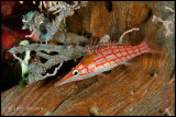 Longnose hawkfish with an isopod attached