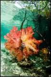 Colourful Softcoral