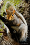 Chubby Angel Canal Squirrel