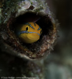 Sawtoothed blenny
