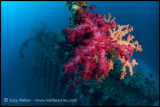 Carnatic soft coral