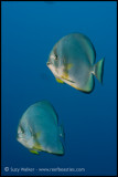 Pair of batfish