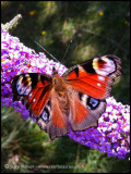 Nans Garden Red Butterfly