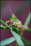 Green Cricket (front)