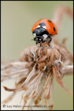 Ladybird and weeds
